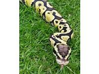 Firefly ball python male + 4ft vivarium