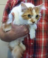 Young Female  - Domestic Long Hair - orange and white