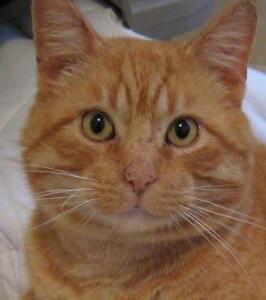 """Senior Male Cat - Tabby - Orange: """"Noel"""""""