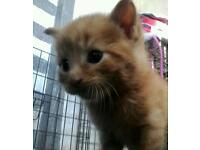 GINGER male kittin