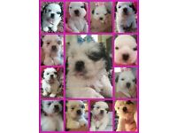 Full shitzu pups