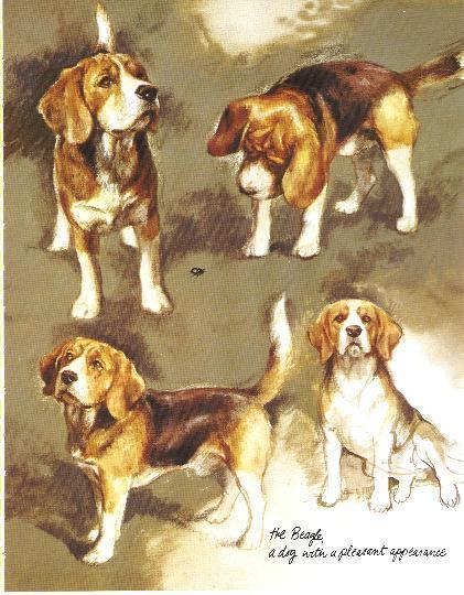 Beagle - Vintage Dog Art Print - Poortvliet