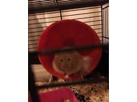 Free Hamster To A Loving Home