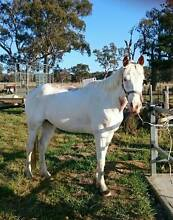 Registered Painted Gelding Glen Innes Glen Innes Area Preview