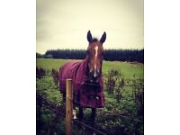 Horse - 14'2 mare for sale