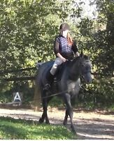 For Sale Canadian Sport Horse / Thoroughbred