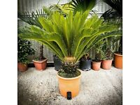 Palm Tree - Cycus Revoluta Sold by Nwtropicals