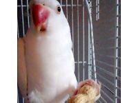 8 month old White Ringneck Parrot -With Cage, toys and feed!-