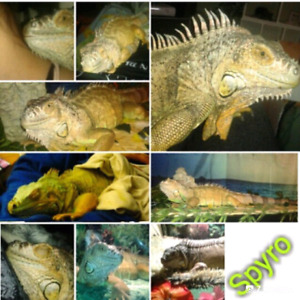 Iguana in need of good home (free)