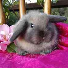 Mini lop baby bunny rabbits Eden Park Whittlesea Area Preview