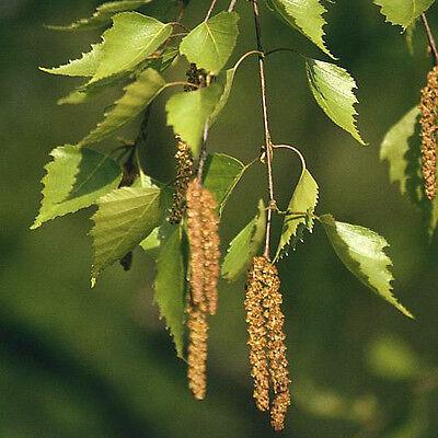 ABEDUL EUROPEO Betula Pendula 350 semillas seeds