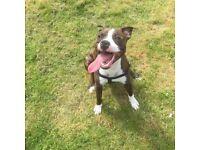 Staffy (pup)