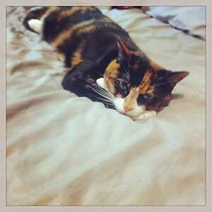 Fixed Female Cat to Good Home