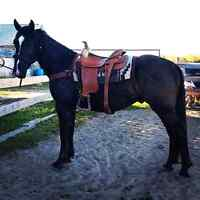 2 Year Old Shire/Paint Gelding