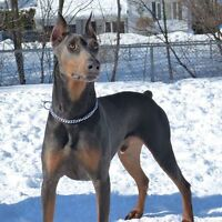 Doberman pure race