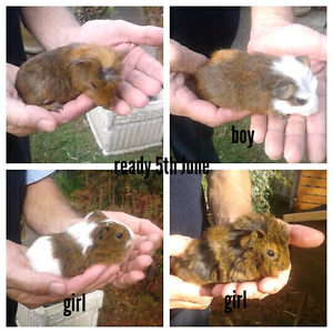 Baby guinea pigs Raymond Terrace Port Stephens Area Preview