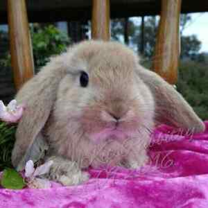 Orange boy kit mini lop Bunny Eden Park Whittlesea Area Preview
