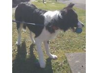 Border Collie Pup 8 Months Experienced Owner Required