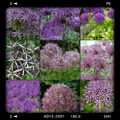 10 MIXED PURPLE ALLIUM☆XL Bulb Size ☆VIOLET BEAUTY/PURPLE RAIN/CHRISTOPHII