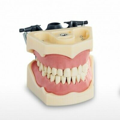 Rmh3 Dental Teeth Study Jaw Model Columbia Compatible 32 Teeth
