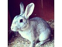 Neutered male rabbit