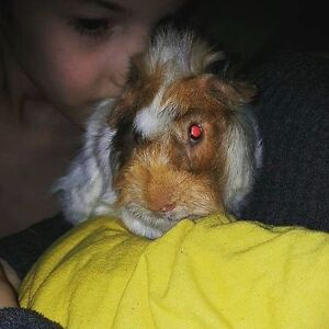 Guinea pigs for sale!