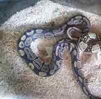 Beautiful Ball Python forsale
