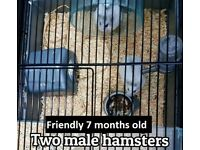 Two white male hamsters - 7 months old (All equipment, cage, wheel, ball, food ) £40