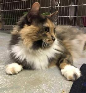 "Adult Female Cat - Domestic Long Hair: ""Callie"""
