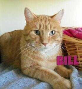 "Adult Male Cat - Domestic Short Hair: ""Bill"""