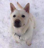 """Young Male Dog - Husky-Labrador Retriever: """"Max"""""""