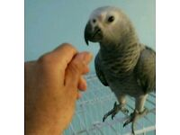 HIGH & STRONG QUALITY Tame Congo African Grey Parrots [£850 EACH] For Sale + Cages From £30