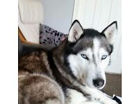 Female Siberian Husky needs rehoming.