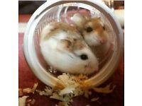 Dwaft hamsters