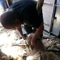 alpaca shearing ,also horse hoof trimming