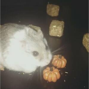 7 mo. old hamster needs new home!! ***EVERYTHING INCLUDED***