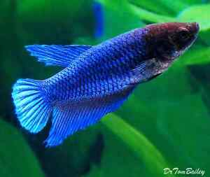 Looking for a female beta fish :)