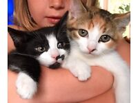 Two beautiful female kittens free to good home - must stay together