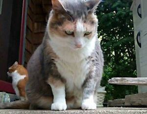 Lost Calico Cat in Ancaster