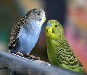 2 Parakeets With a Cage