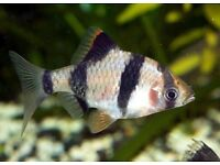 2x Tiger Barbs (Tropical) for FREE - COLLECTION ONLY