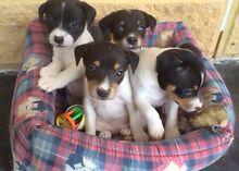 Mini fox terrier puppies Orielton Sorell Area Preview
