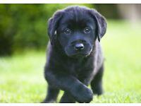 Quality litter of black Labrador puppies.