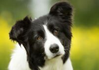 Female Border Collie - adopt for a few months (moving)