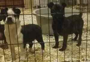 Pug cross pups
