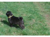 kc reg pug boy black 18 weeks old