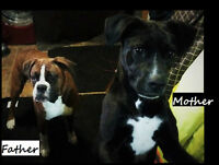 Boxer/Boxador Puppies TWO MALES LEFT