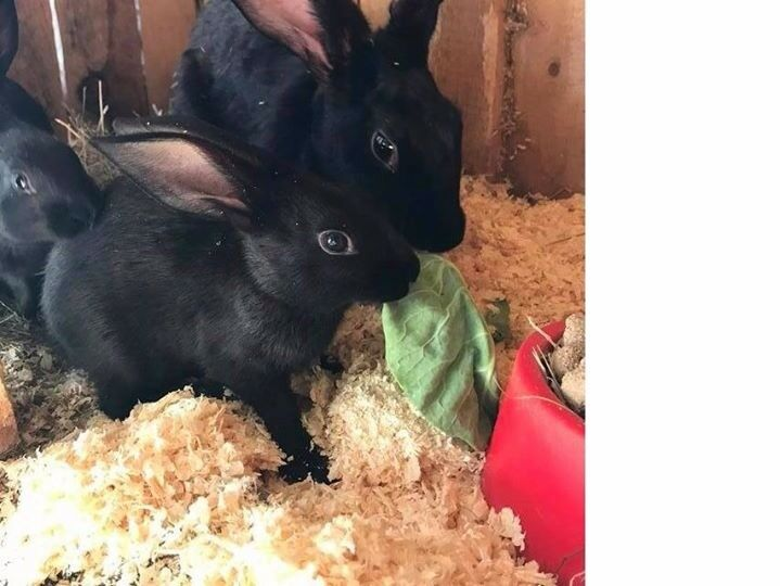 Belgian Hare Baby Boys Ready now (Rabbits)