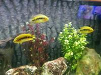 Tropical fish ( approx 20 in community)