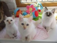 GCCF Registered Birman Kittens